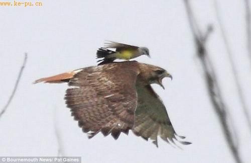 惊人一幕:食蜂鹟骑在红尾鹰背部猛啄其头部