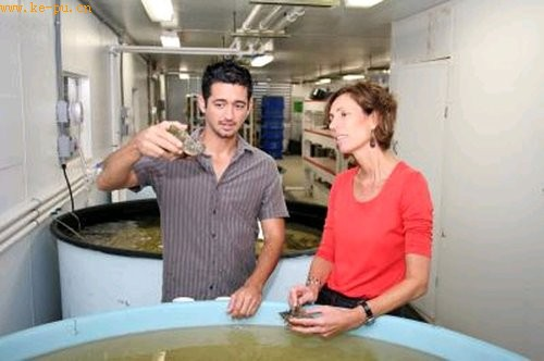 科学家成功研制出人工培养女王海螺珍珠技术