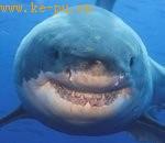"""大白鲨""""可怕的微笑"""""""