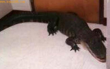 美国中学食堂突现2米长鳄鱼吓坏老师学生(图)