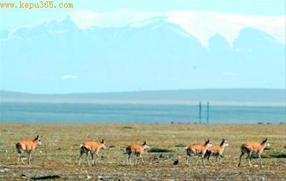 藏羚羊迁徙产仔提前月余 或因气候环境发生变化图片