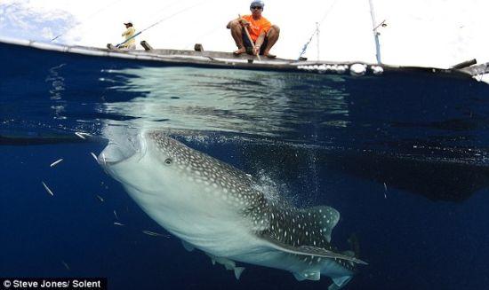一名渔民饶有兴致地看着鲸鲨张着大嘴享受午餐