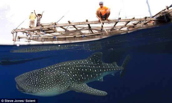 一头身躯巨大的鲸鲨,嘴宽1.5米,长有300到350排微小的牙齿