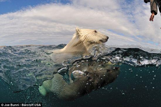 布尼设法爬上船后,这头雌性北极熊悻悻地转身游走了