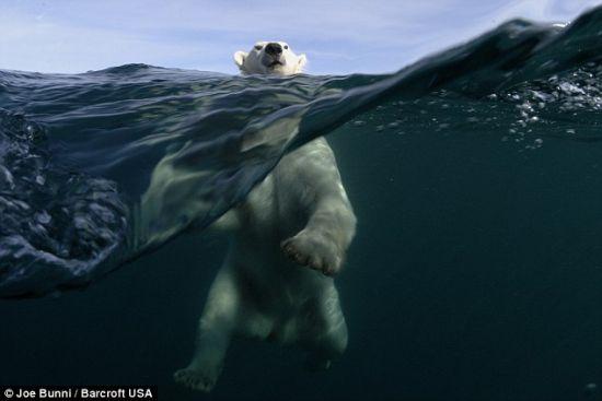 尽管北极熊体型庞大,但是它们很擅长游泳,不会有人愿意靠它们这么近