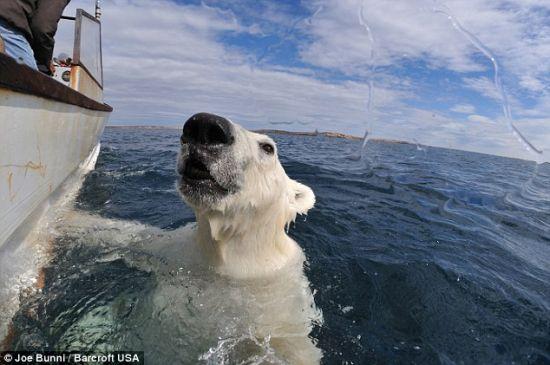 这头北极熊不高兴有人给它拍照,开始发起怒来