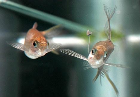 晚餐约会:雄性的剑尾脂鲤身上拥有一个天然的性别装饰品,它是用来吸引饥饿的雌性剑尾脂鲤。