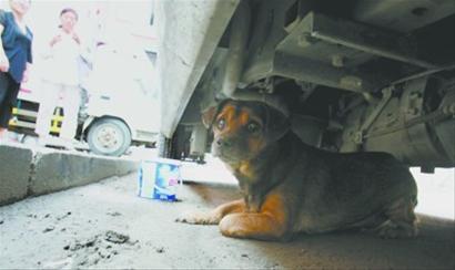 昨日中午12时,在皇姑区鸭绿江街47-1号楼的车下的小狗经历了一周的绝食煎熬。 记者 王迪 摄