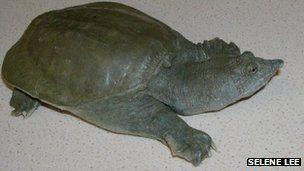 中华鳖的背甲是柔软的,这和常见的乌龟不一样