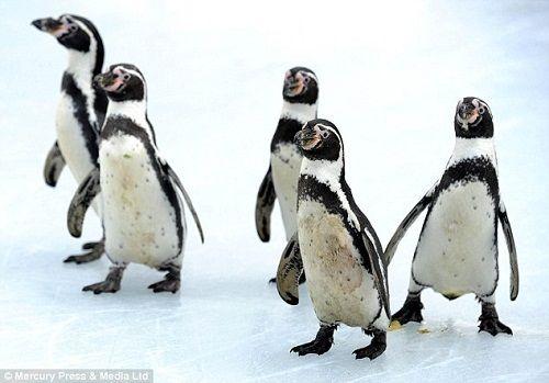 汉波德企鹅生长在南半球,生性耐热怕冷