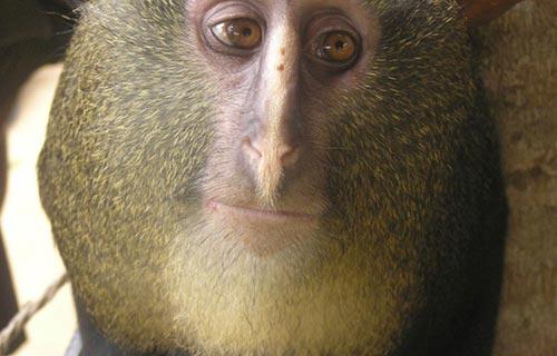 刚果长尾枭猴