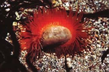 火焰贝壳伸出红色的触手