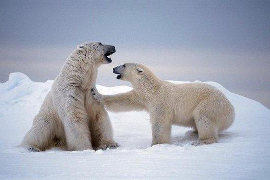 北极熊并非起源阿拉斯加岛屿 其身世仍是谜团