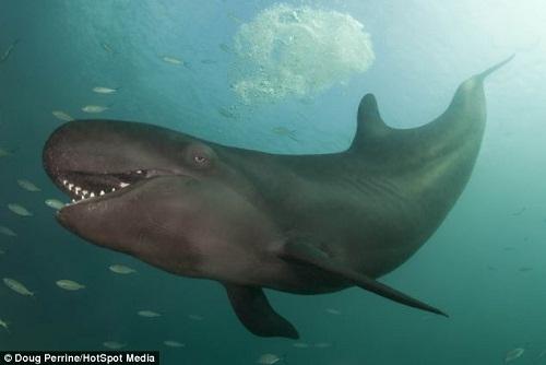 伪虎鲸张开大嘴,好像是在冲镜头微笑