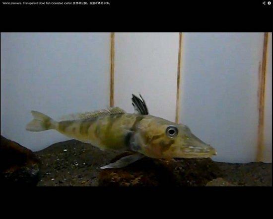 南极发现神秘鱼类:缺乏血红蛋白血液透明状