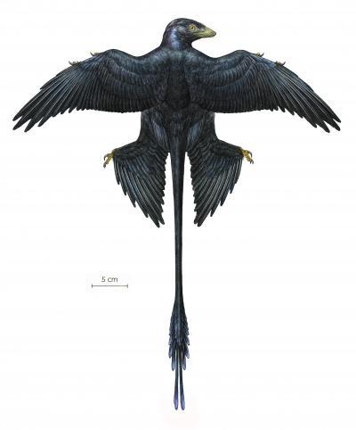 小盗龙是一种鸽子大小的四翼恐龙,生活在大约1.3亿年前的白垩纪早期