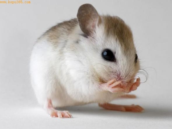 一只可爱的圣安德鲁沙滩鼠(图片提供:Joel Sartore, National Geographic)