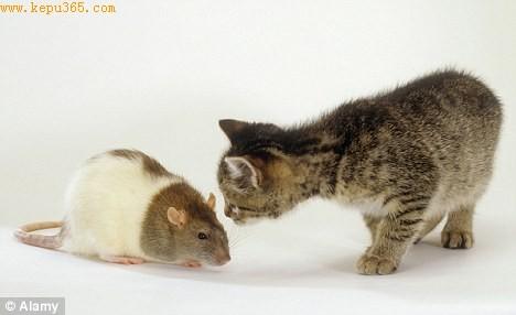 感染弓浆虫的老鼠不怕猫
