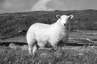 能够在绵羊和其他牲畜中导致死胎的新病毒让科学家们大伤脑筋。图片来源:Fotosearch