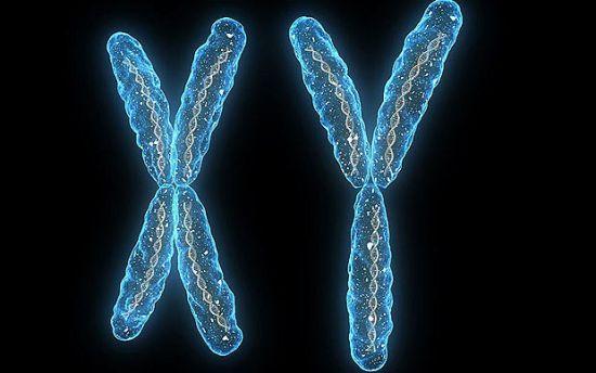 研究人员表示他们希望这一发现将终结这一有关雄性染色体危机的谣言。这一谣言声称在过去3亿年内,Y染色体已经从1400组基因下降为今天的仅有45组