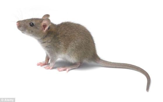 """神经生物学家米格尔-尼古拉斯让老鼠具备""""第六感"""",让它们能够发现肉眼看不到的红外光,这或许能让动物成功通过意念彼此交流"""