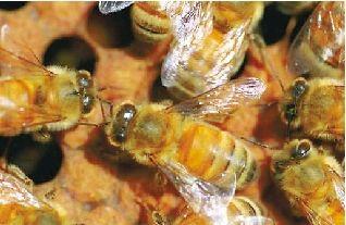 美国研究人员在蜂刺中发现一种化学物质,能够攻击并毁灭艾滋病毒细胞。