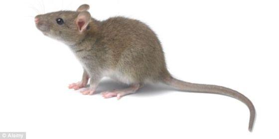 利用这个新系统,研究人员只要佩戴一顶装满传感器的帽子,就能遥控一只老鼠的尾巴摆动