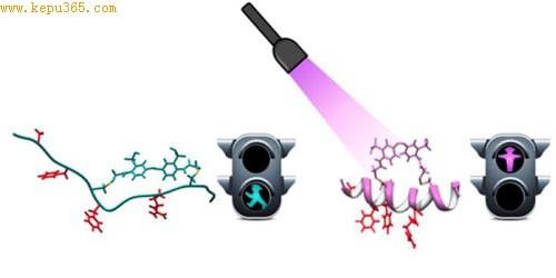 西班牙科学家最新研制新型缩氨酸分子,受光线控制,可像交通信号灯一样开启关闭蛋白质之间的交互反应