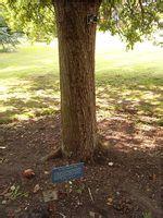 被称为牛顿苹果树后代的一棵苹果树