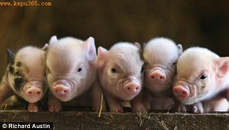 科技时代_英国研究显示猪与人一样拥有喜怒哀乐