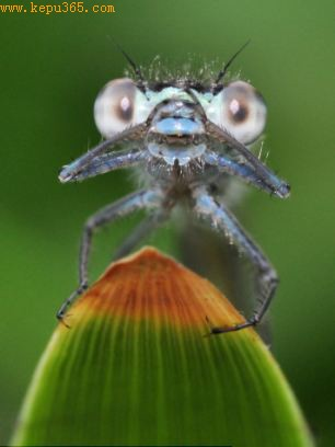 蓝尾豆娘正用宝石一般的大眼睛盯着照相机看