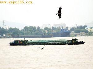 老鹰在水面盘旋捕鱼。 梅建明 摄