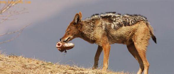 赶走了秃鹫,豺独自享受着美食