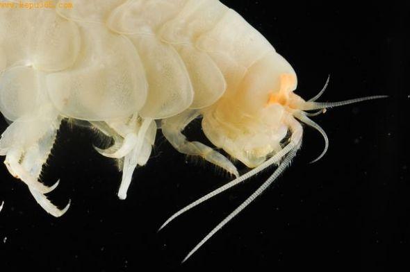 深海甲壳类动物(图片来源:Camilla Sharkey, University of Bristol)
