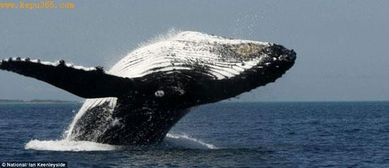 驼背鲸跃身击浪非常壮观。驼背鲸的名字来自它做出的这一动作,因为在准备俯冲时它能在水面上方弯成弓形。
