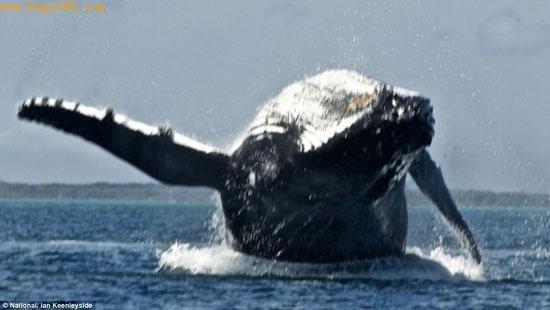 英国游客拍到两只驼背鲸跃身击浪瞬间(组图)