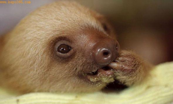吃蔬菜:一只幼年霍氏二趾树懒正在美滋滋地吃蔬菜。这种动物已经吸引了大量游客。