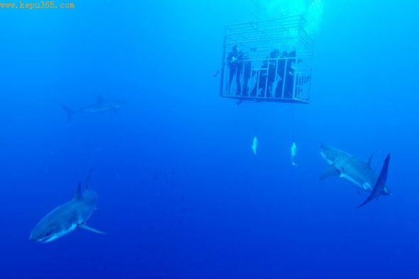 好奇的大白鲨