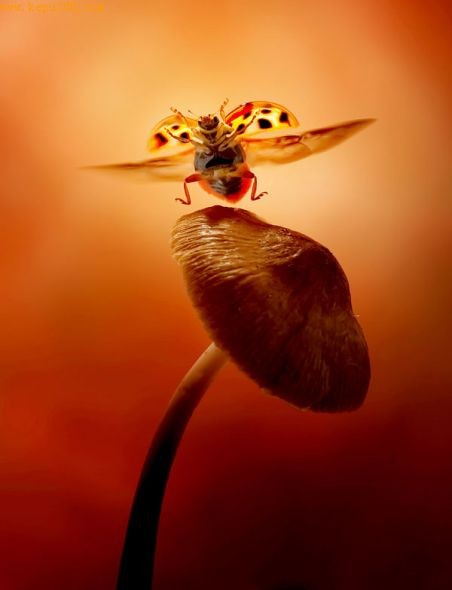 蘑菇上飞行的瓢虫