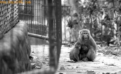 两只猴子在笼舍外面警惕地张望 晨报 吴磊 现场图片
