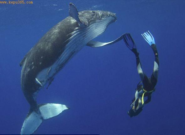 这头1吨重的幼鲸用鳍轻拍英国潜水员芒斯的脚蹼,似乎是在给它贴标签