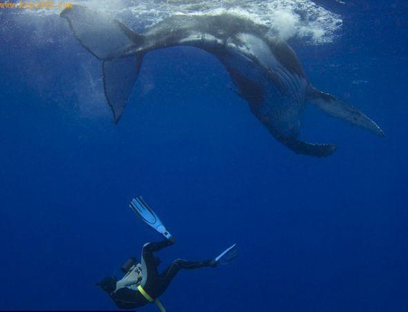 这头幼鲸兴致勃勃地与潜水员打闹,对此漠不关心的鲸妈妈呆在一边看