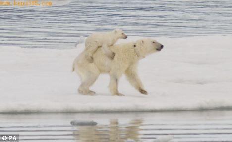 北极熊幼仔骑在妈妈背上,上演漫长的觅食之旅