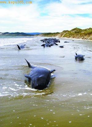 120头巨头鲸命断新西兰海滩