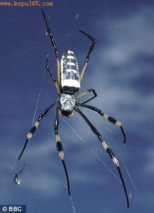 现代蜘蛛中的怪物:拍摄于南非的非洲大金蛛。