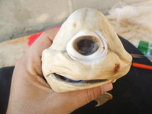 独眼白化鲨鱼胎儿