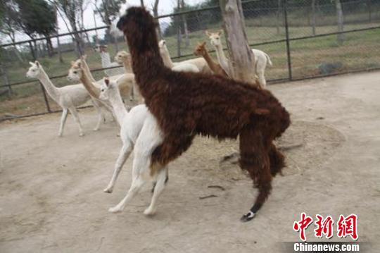 """""""好色""""的羊驼父子HOLD不住,一见来了年轻貌美的小母羊驼就扑了上去。""""非礼啊""""!!"""