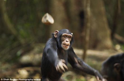 小黑猩猩乔亚向摄影师阿努普•沙阿投掷石块