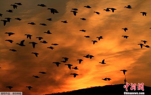2012年2月2日,捷克布尔诺,万只野鸭集体飞过天际。