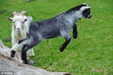 """最新研究显示侏儒山羊会通过学习改变""""口音"""""""